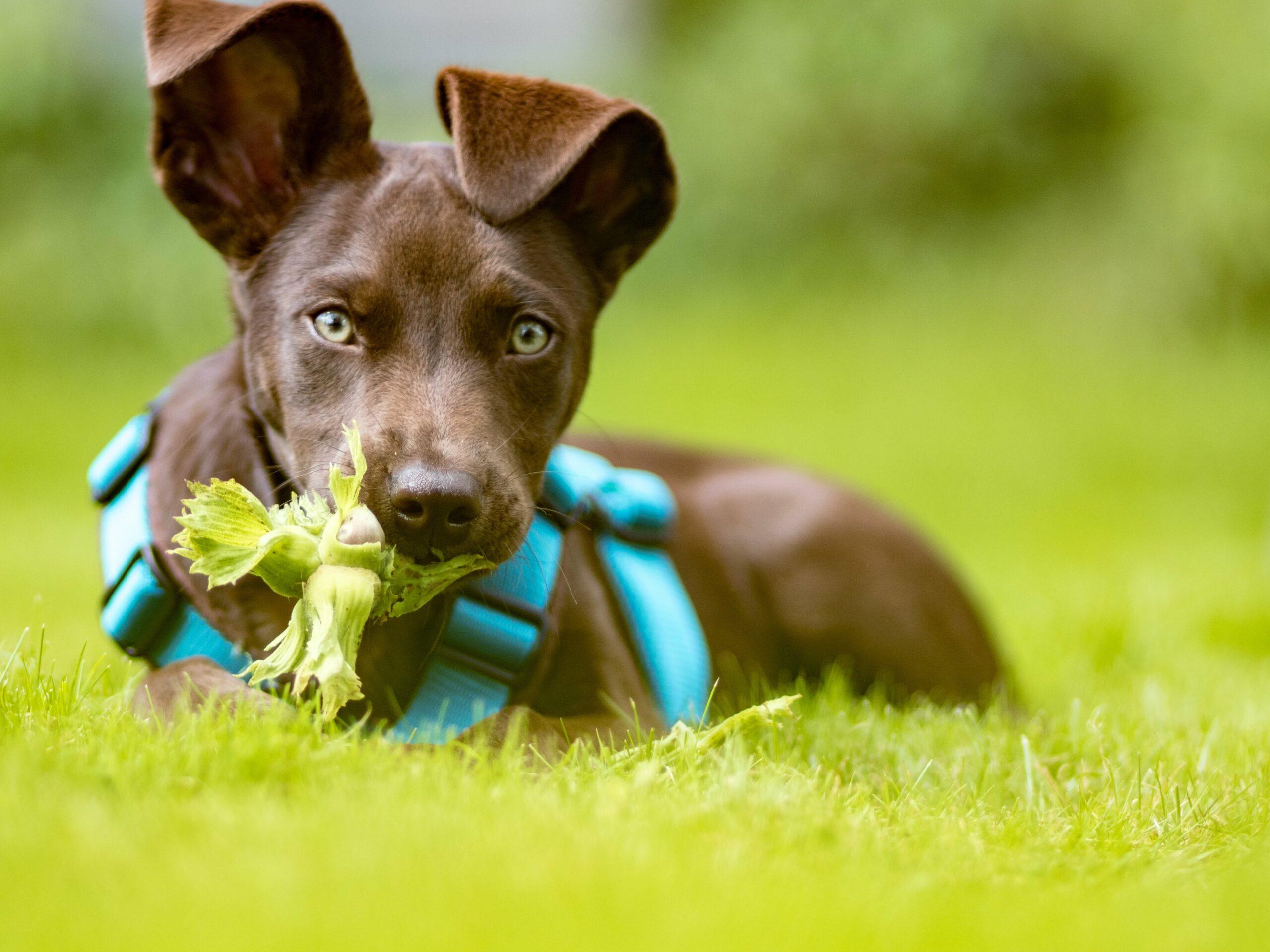 Czy pies może jeść orzechy?