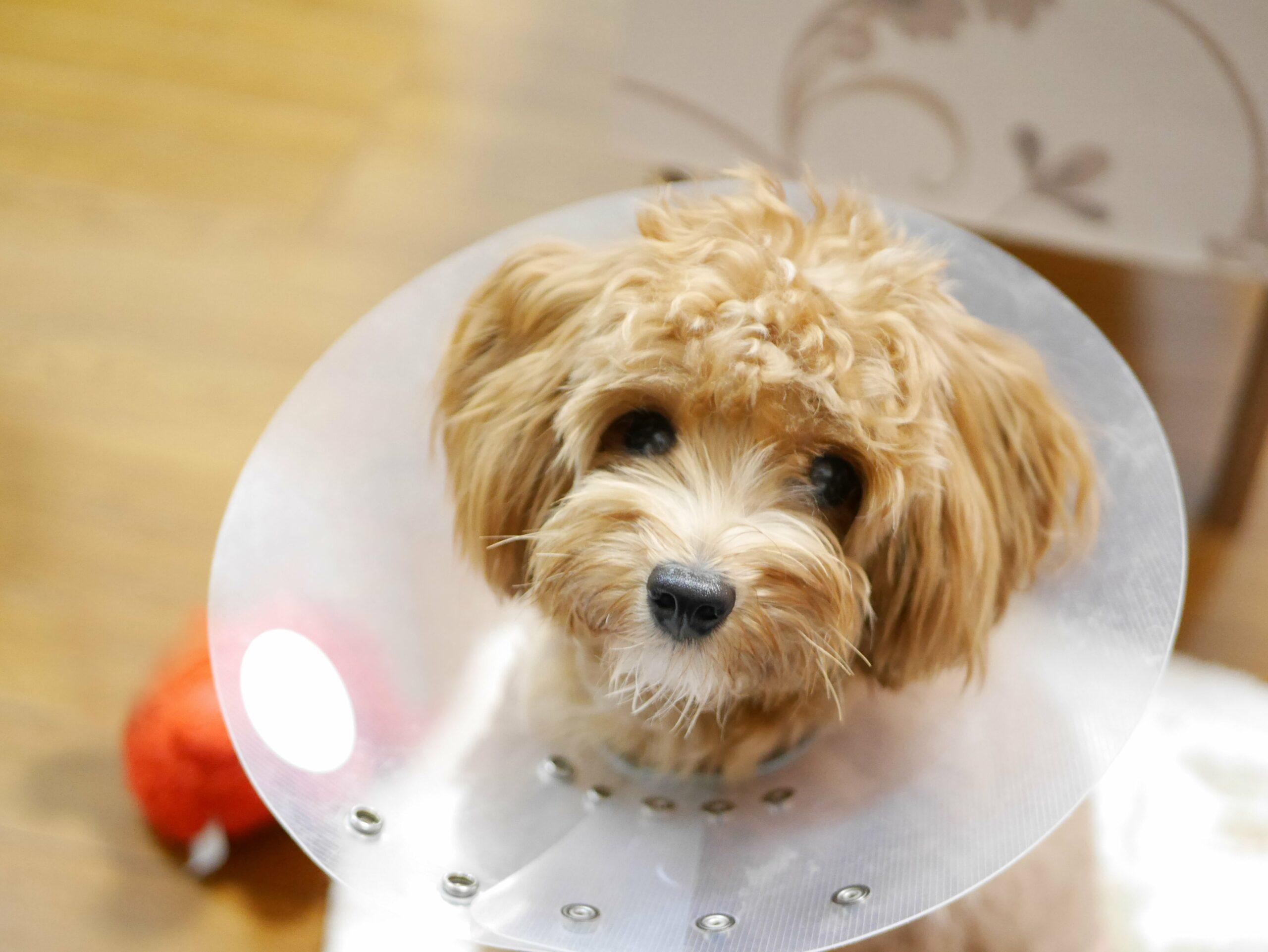 pies po zabiegu sterylizacji