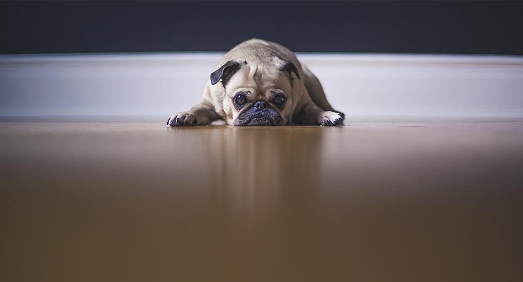 Objawy zatrucia czekoladą u psa