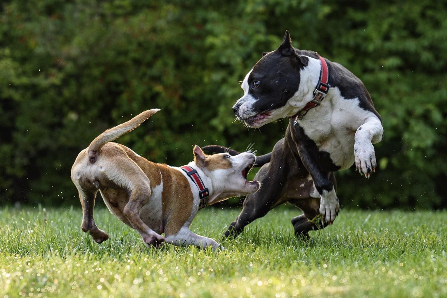 Co zrobić z agresywnym psem?