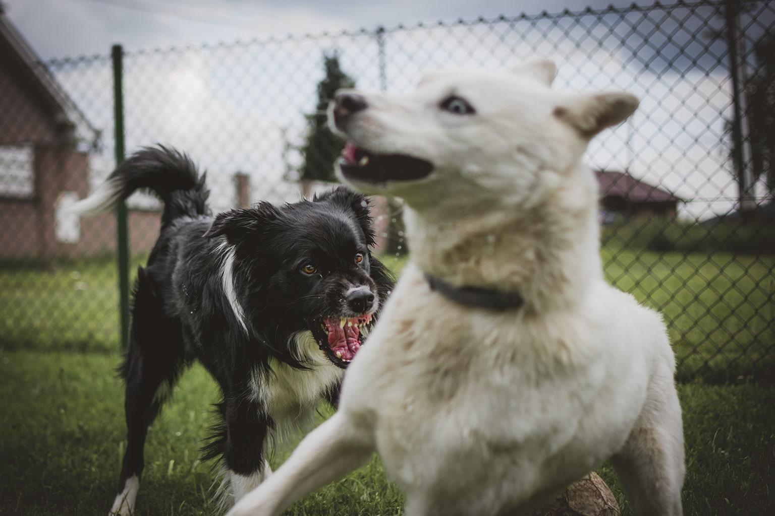 Agresywny pies na spacerze