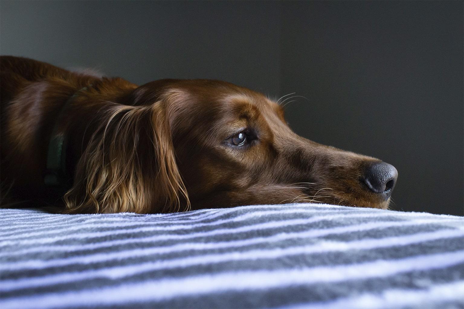 Cukrzyca u psa objawy